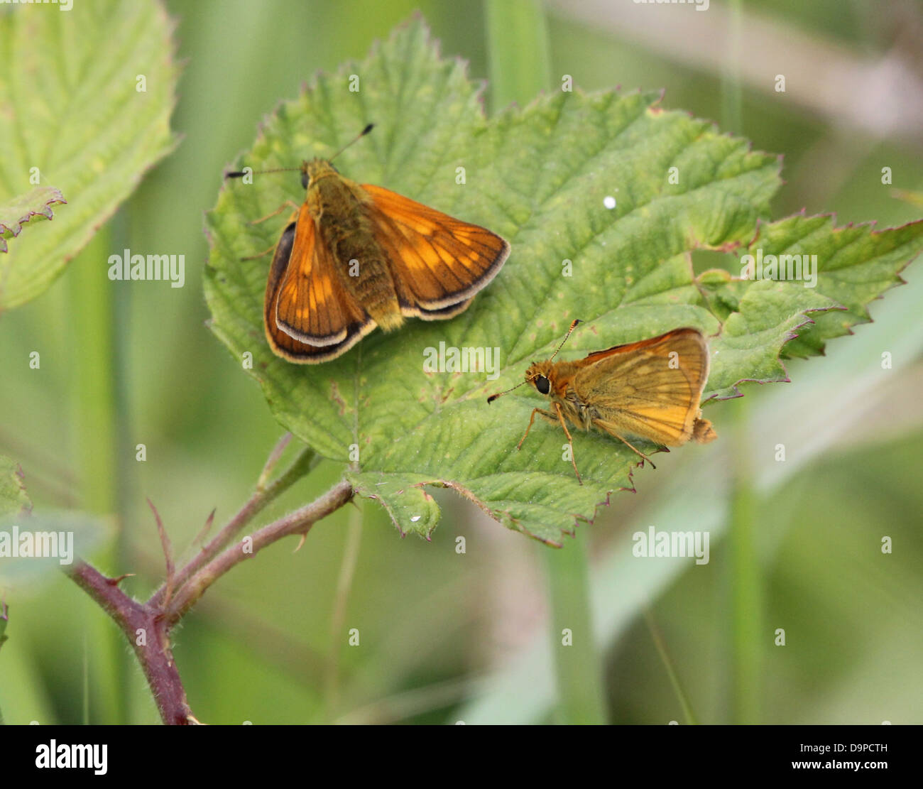 Macro close-up of a  male and female  Large Skipper butterfly (Ochlodes sylvanus) posing on a leaf Stock Photo