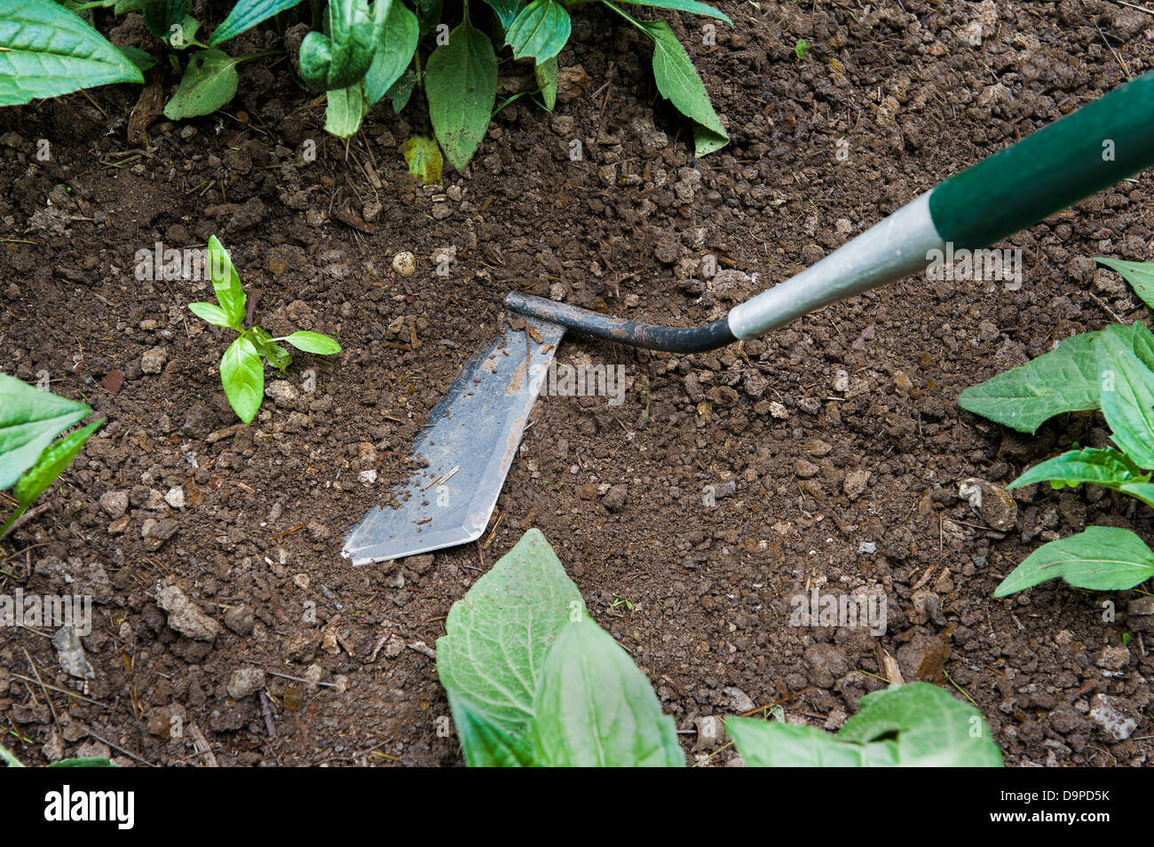 Weeds being removed with a garden hoe. - Stock Image