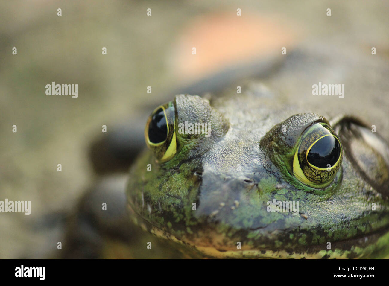 A macro picture of a frog. - Stock Image