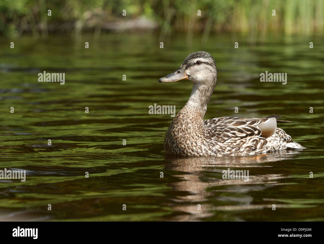 A mother mallard watching over me as her babies approached my location. - Stock Image