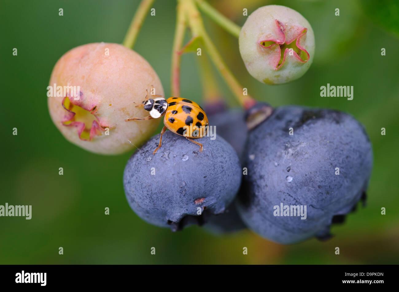 Harmonia axyridis, harlequin ladybird, Asiatische Marienkäfer, Blaubeere - Stock Image