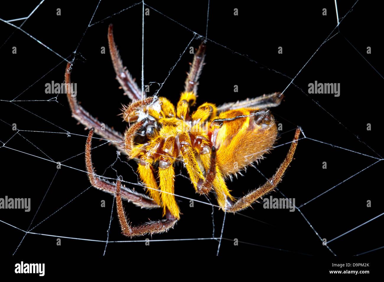 Amazonian orb-web spider at night, Ecuador - Stock Image