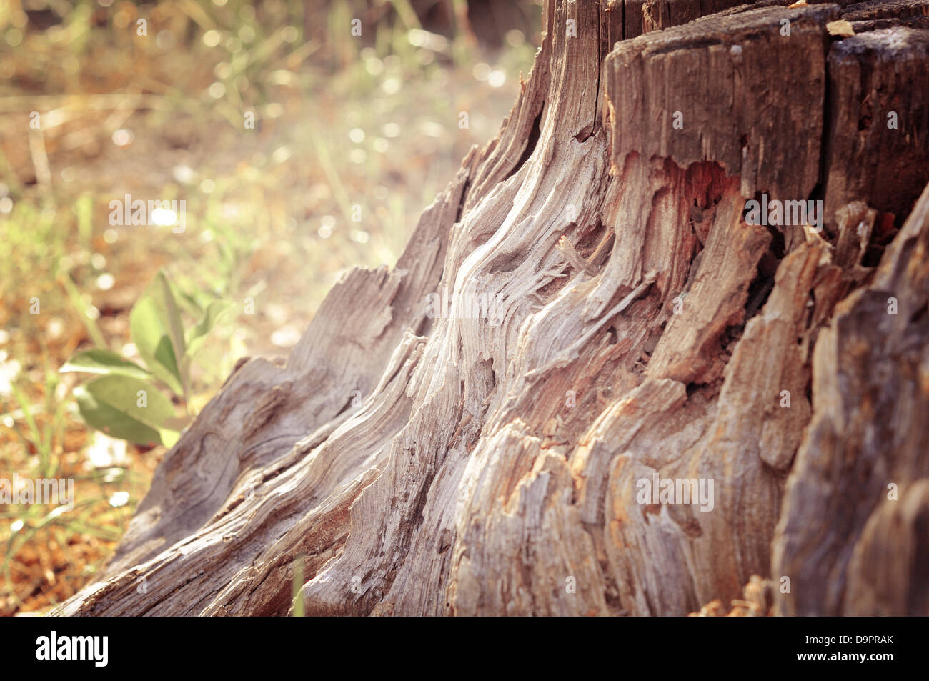 Photo of ramshackle tree stump in the forest close up - Stock Image