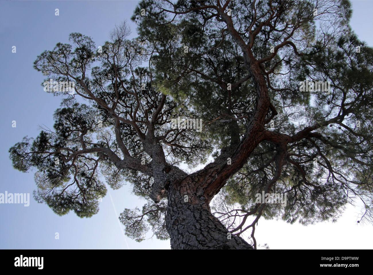 Pine in the Boboli Gardens in Florence - Stock Image