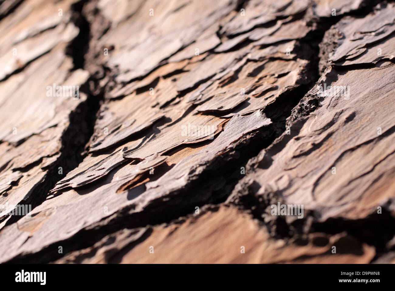 Bark of a pine tree in the Boboli gardens in Florence - Stock Image