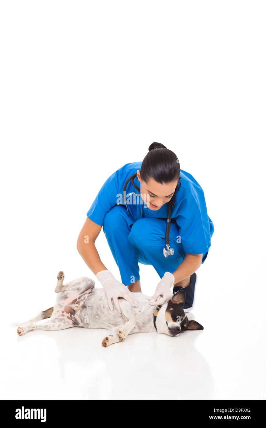 pretty veterinarian nurse checking on pet dog's skin isolated on white - Stock Image