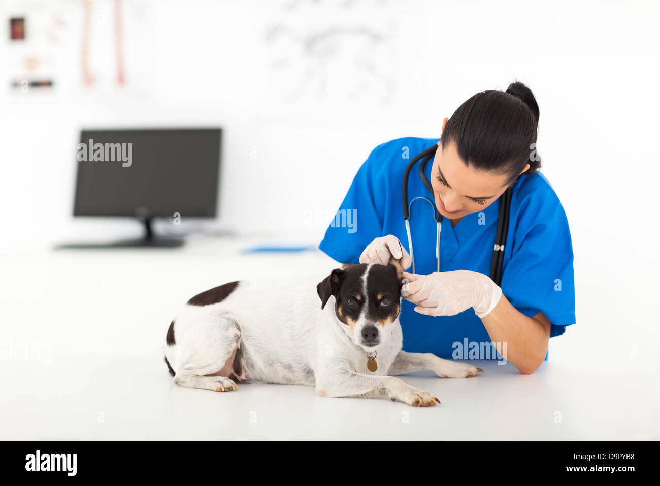 young vet doctor examining dog's ear - Stock Image