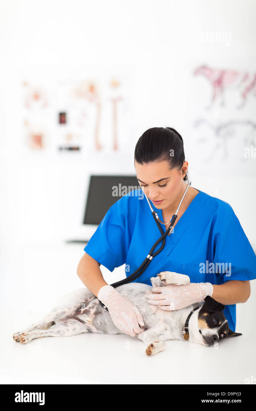 female veterinarian examining pet dog with stethoscope - Stock Image