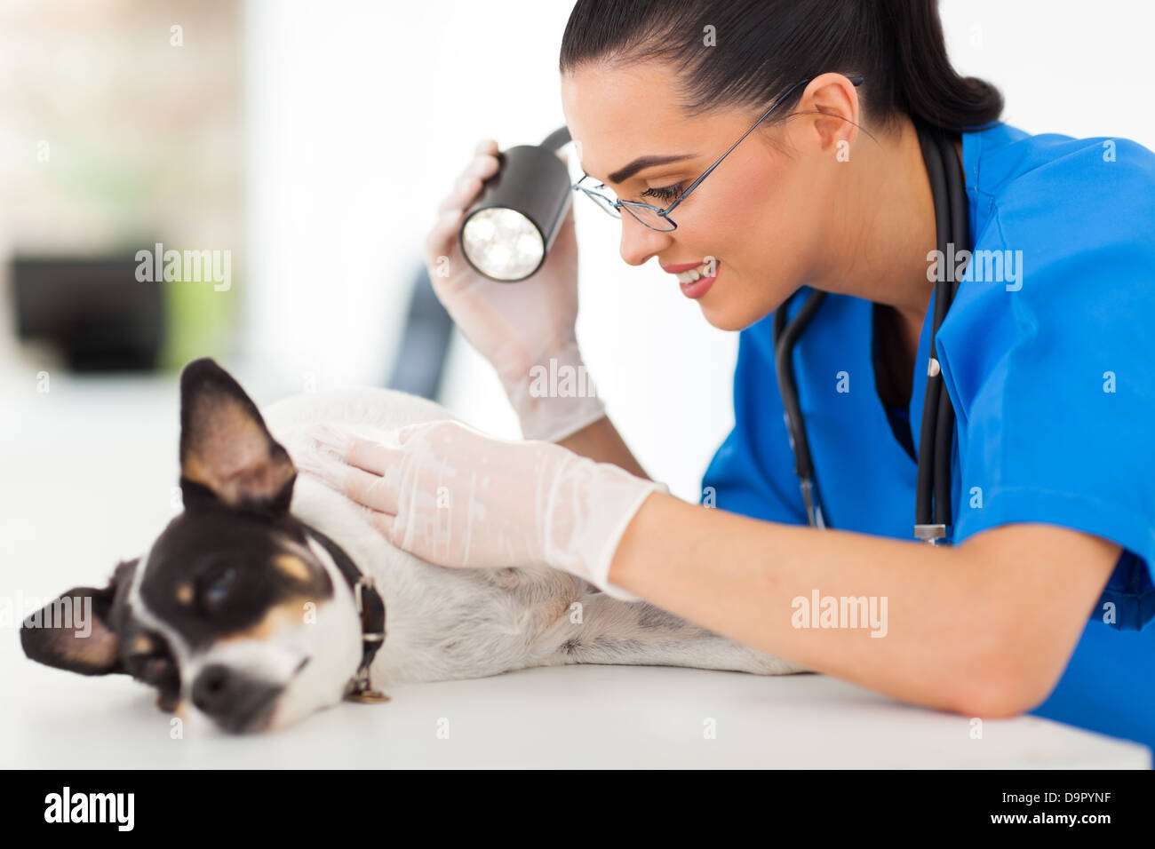 professional vet doctor examining pet dog skin with examining light - Stock Image