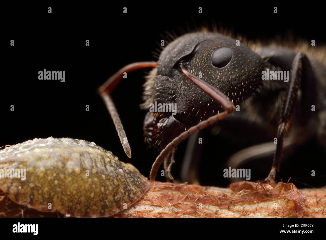 Big ant aking from honeydew and protecting the scale insect - Stock Image