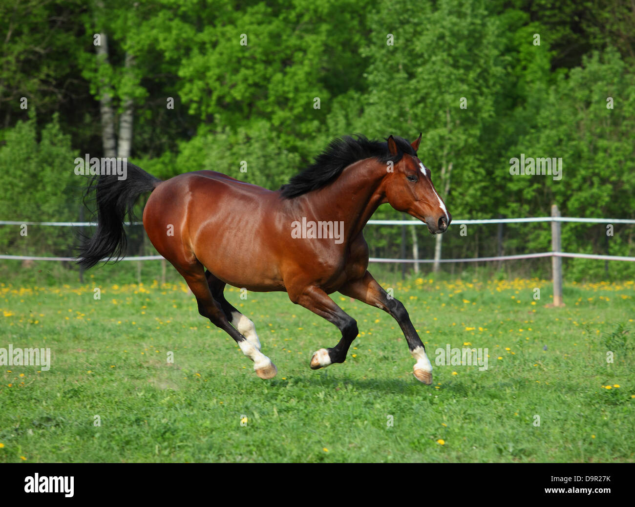Holstein bay horse in freedom runs gallop on the meadow - Stock Image