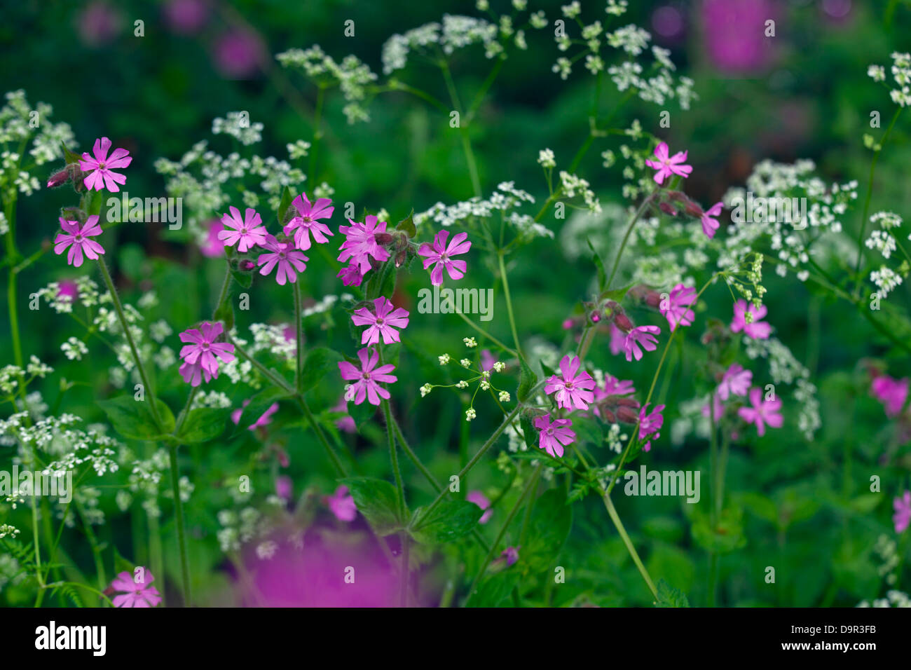 Red Campion Silene dioica and hedge paisley growing on roadside verge Stock Photo