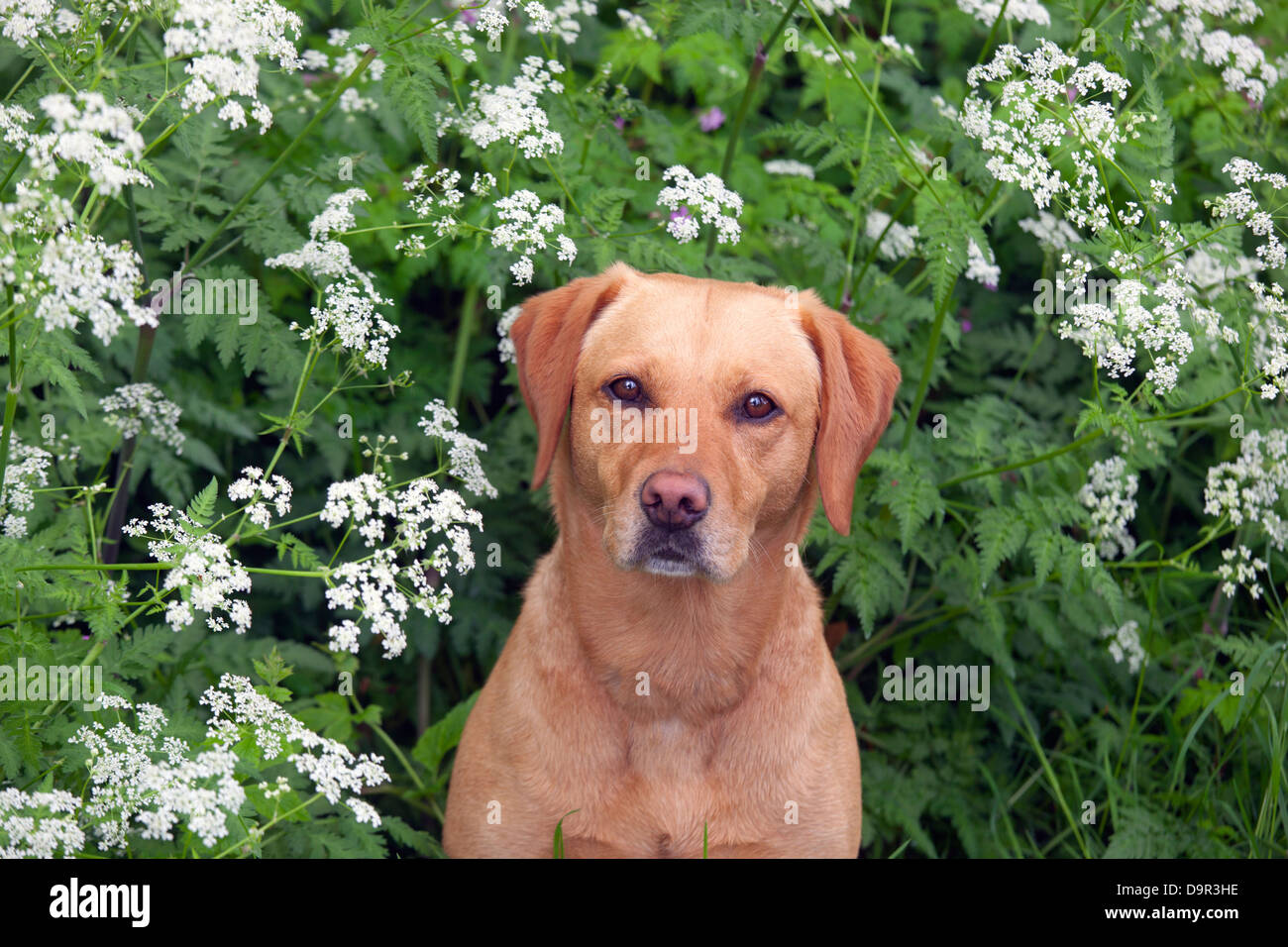 Yellow Labrador in wildflowers - Stock Image