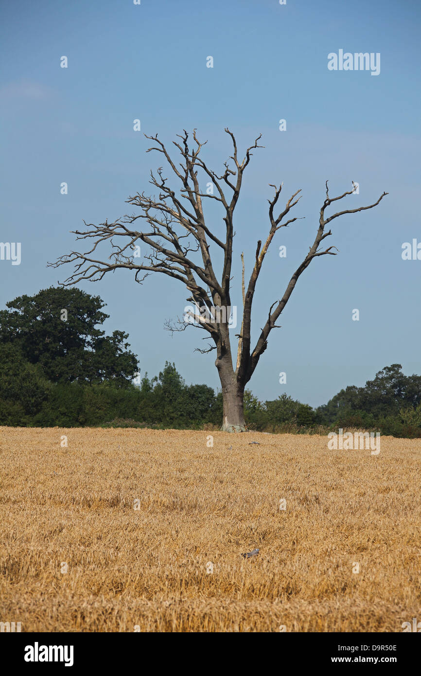 An old dead Oak tree standing alone in a field of Wheat with Wood Pigeons feeding around the tree. Stock Photo