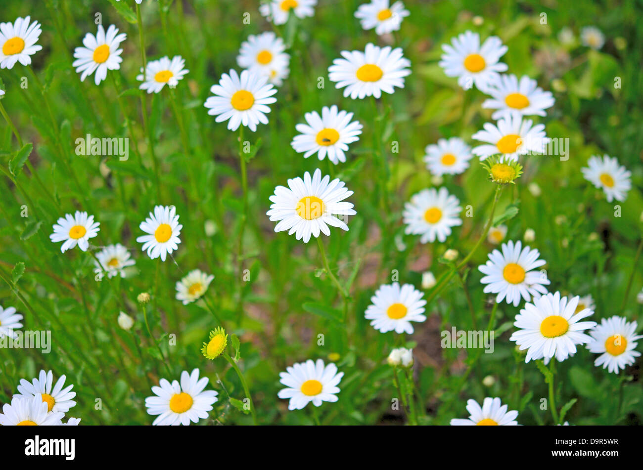 close up of beauty camomiles - Stock Image