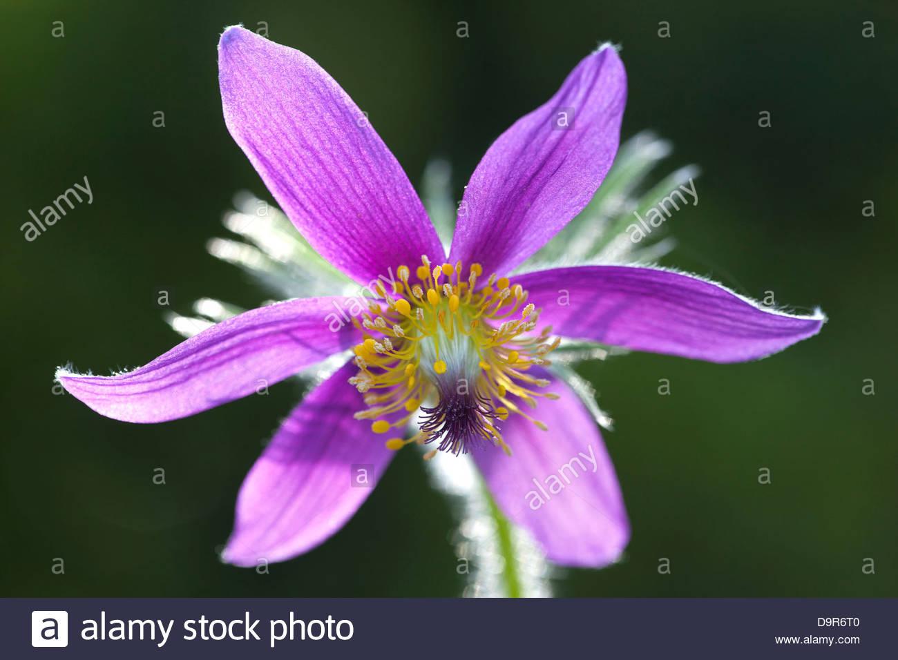Pulsatilla vernalis,Spring Pasque flower or Arctic violet - Stock Image