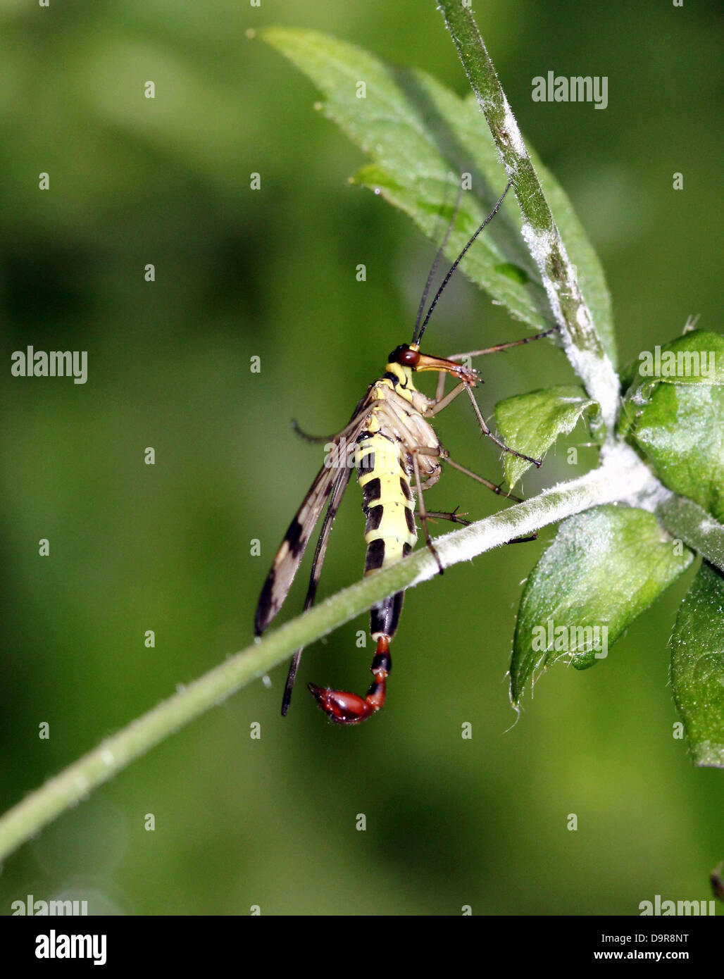 Close-up of a male common scorpionfly ( Panorpa communis) with its scorpion-like tail fully visible Stock Photo
