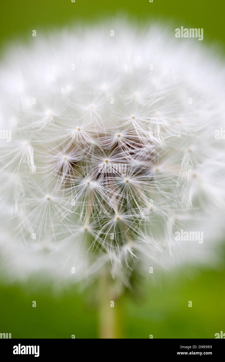 Close up macro shot of a dandelion head Stock Photo