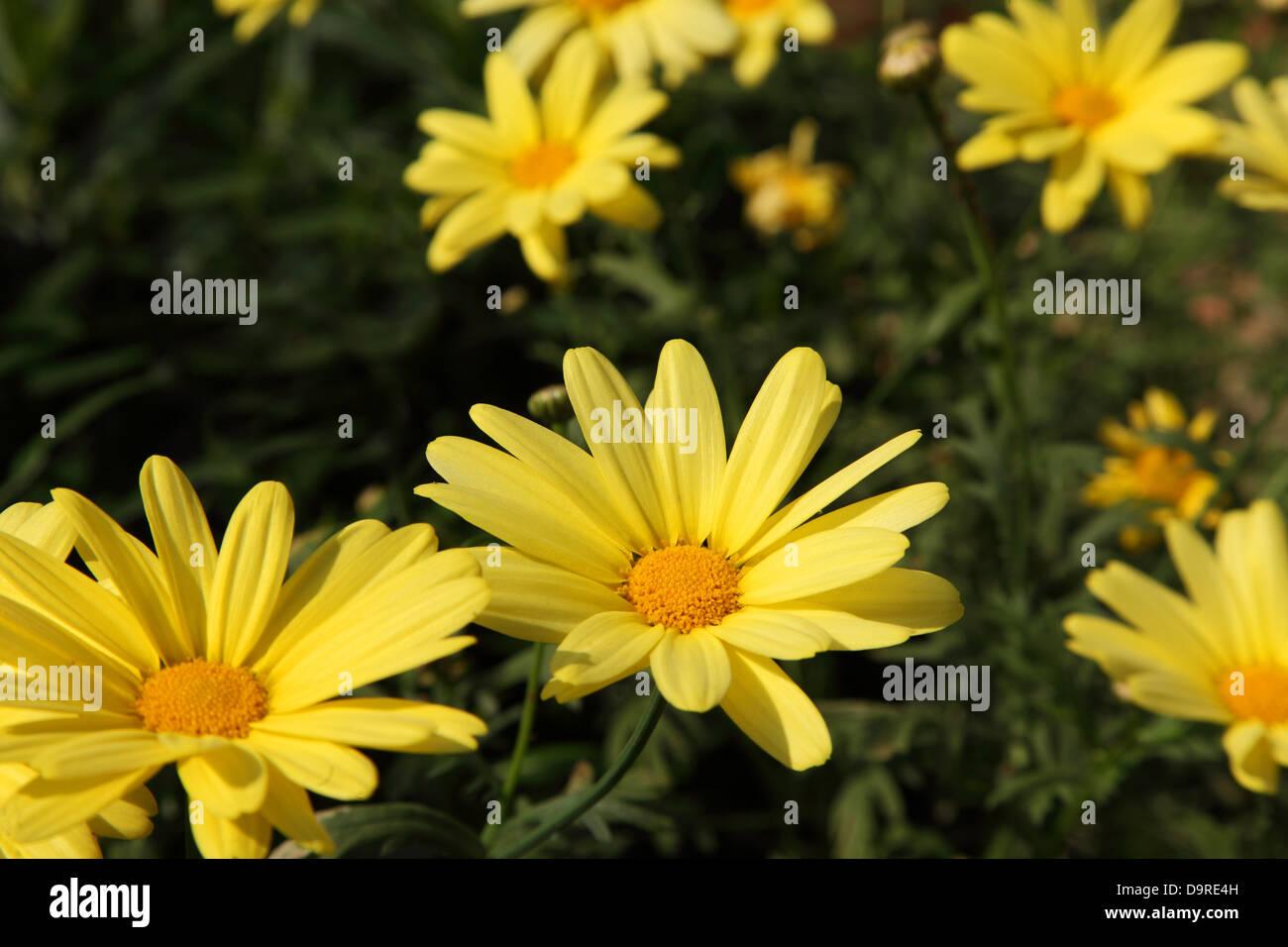 Marguerite (Argyranthemum) flowers, belonging to the family Asteraceae. - Stock Image