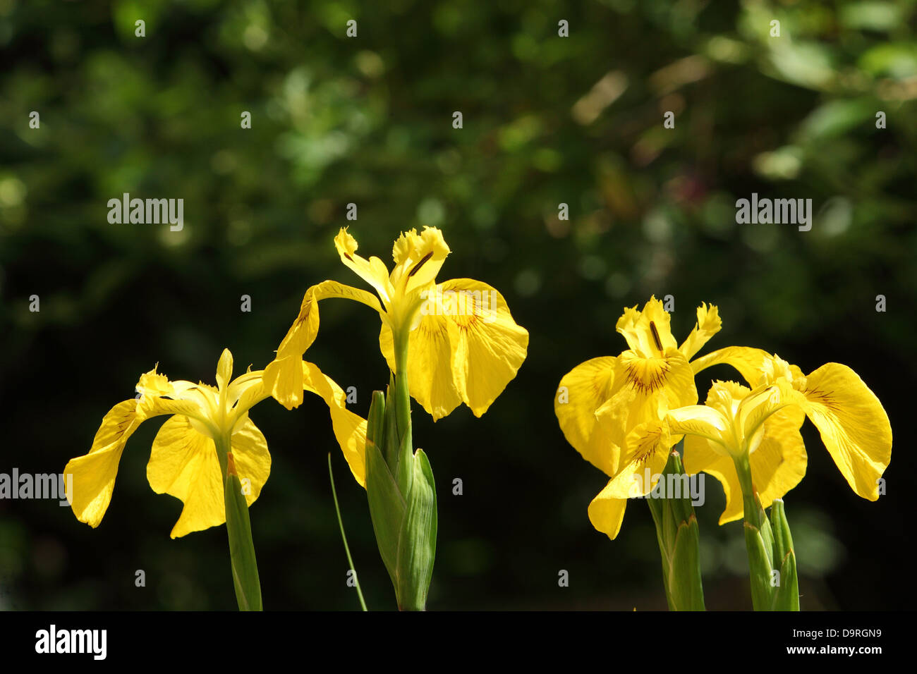 Yellow irises Iris germanica cultivars shining out amongst foliage in a garden - Stock Image