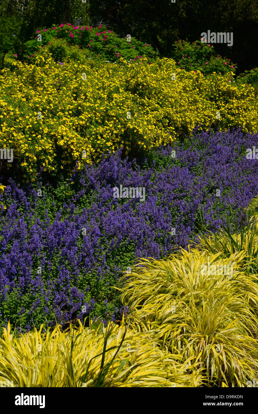 Yellow Potentilla and Hakonechloa and blue Salvia in the Harbourfront Toronto Music Garden - Stock Image