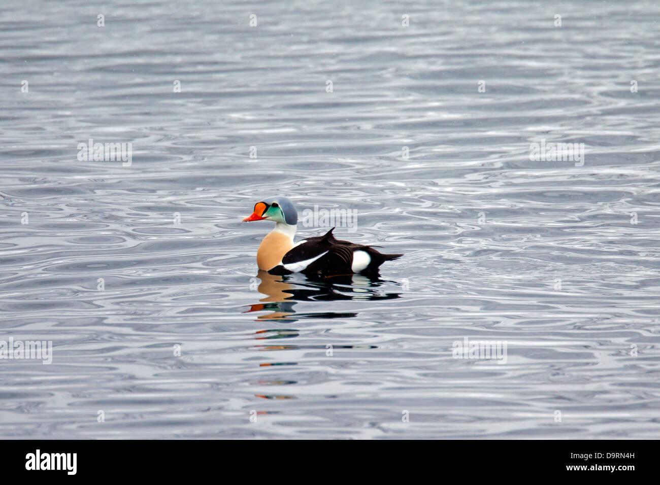 King Eider (Somateria spectabilis) duck in breeding plumage swimming in sea, Lofoten Islands, Norway - Stock Image