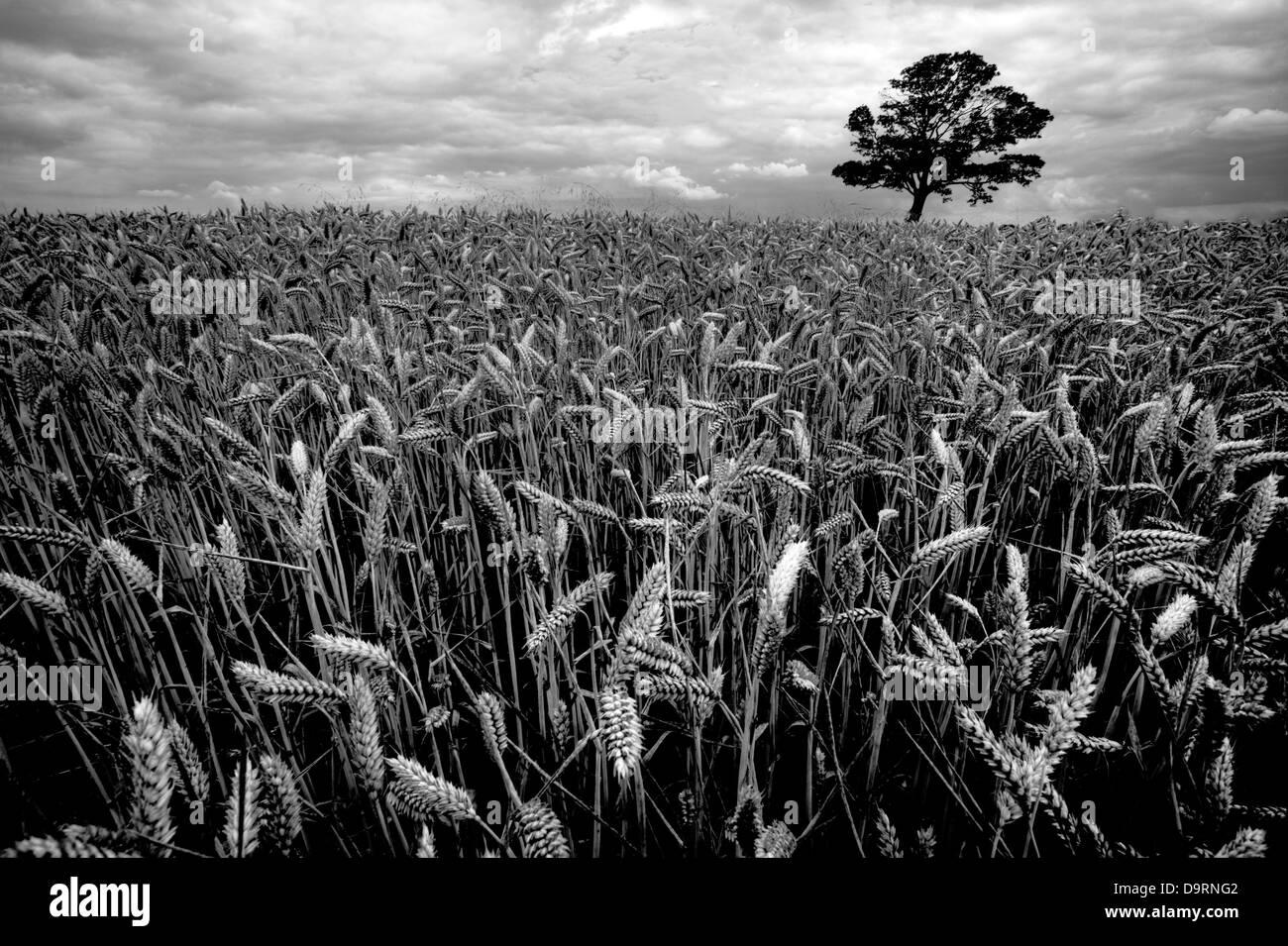 crop of corn Wheat field, Cumbria, Lake District national park, UK, England - Stock Image