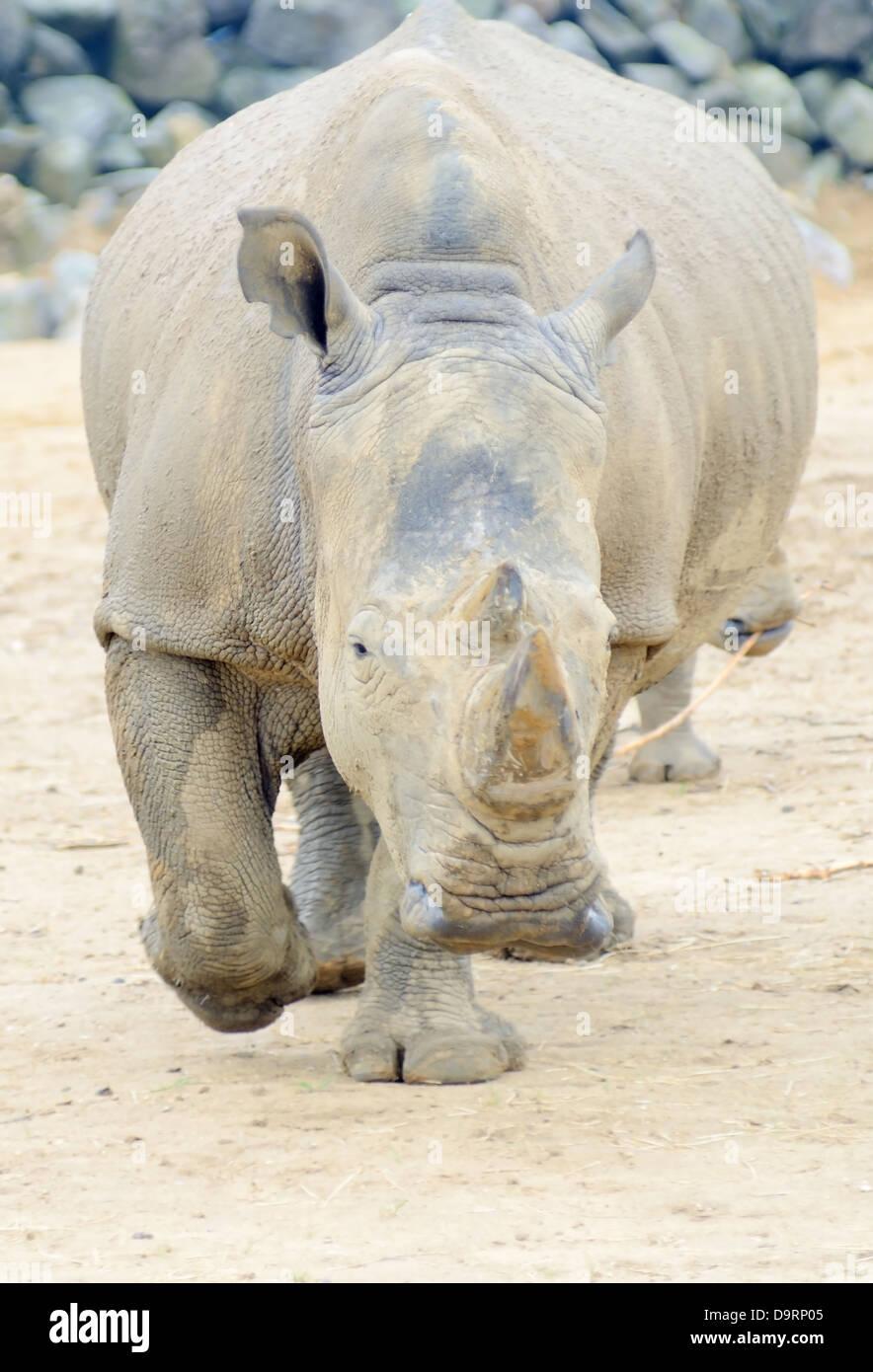 Rhinoceros charging straight at camera looking dangerous - Stock Image