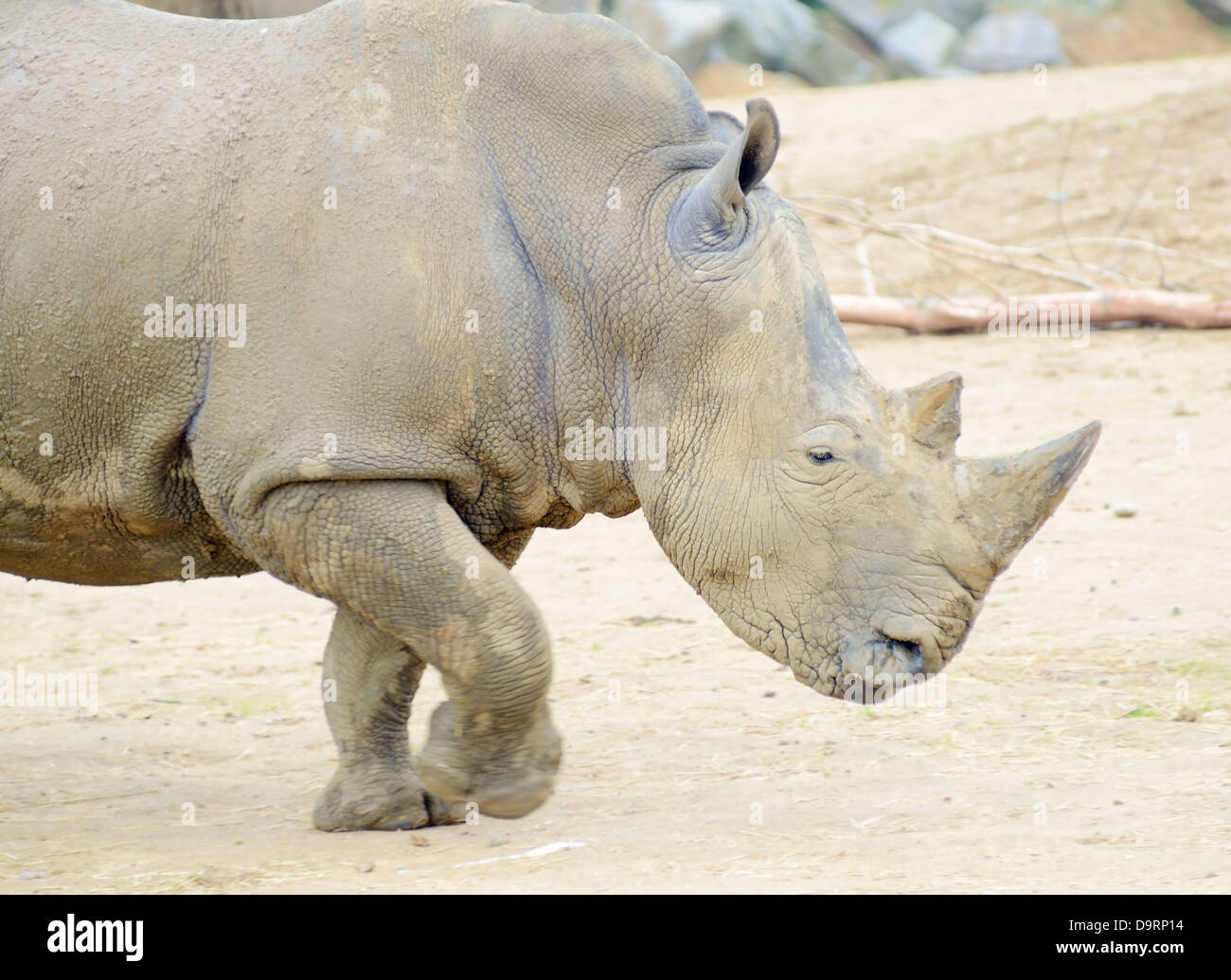 Rhinoceros profile running fast or charging Stock Photo