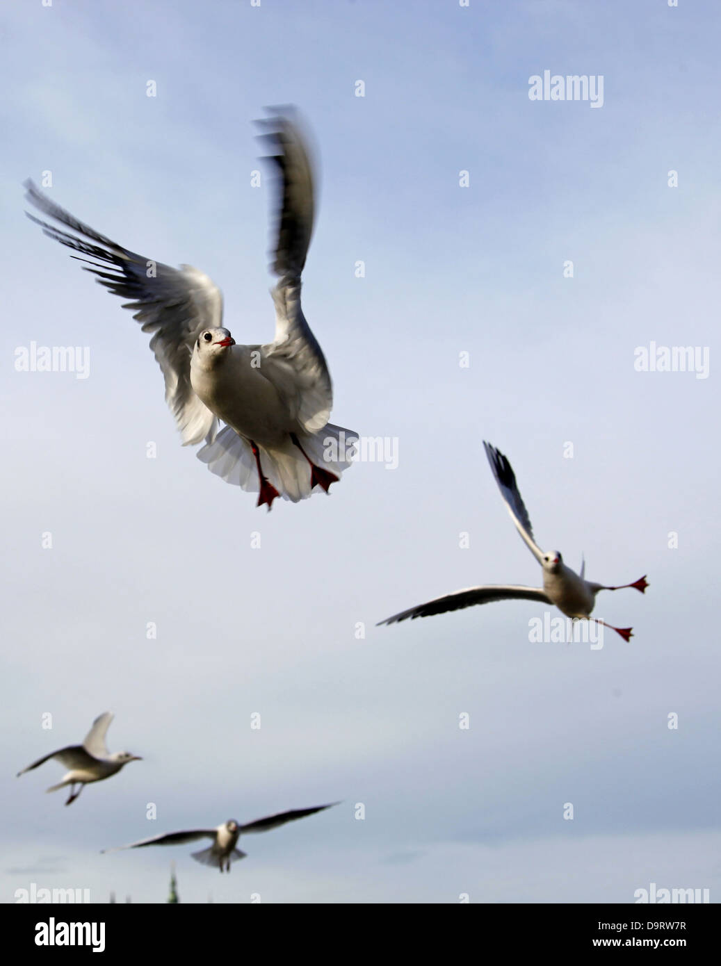 BLACK-HEADED GULLS PRAGUE & CZECH REPUBLIC 31 December 2012 Stock Photo
