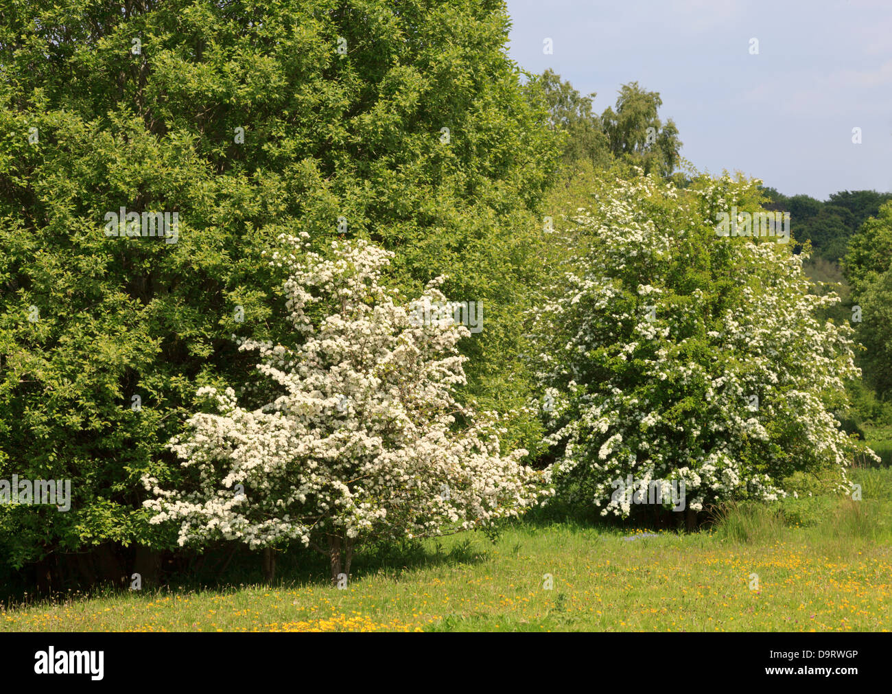 Hawthorn in blossom at Alyn Waters Country Park, Wrexham - Stock Image
