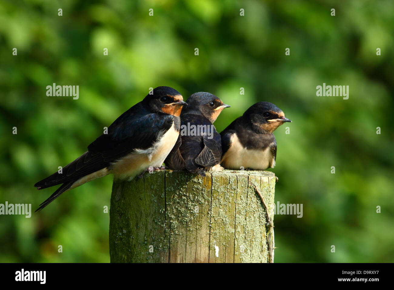 baby swallows waiting to be fed - Stock Image