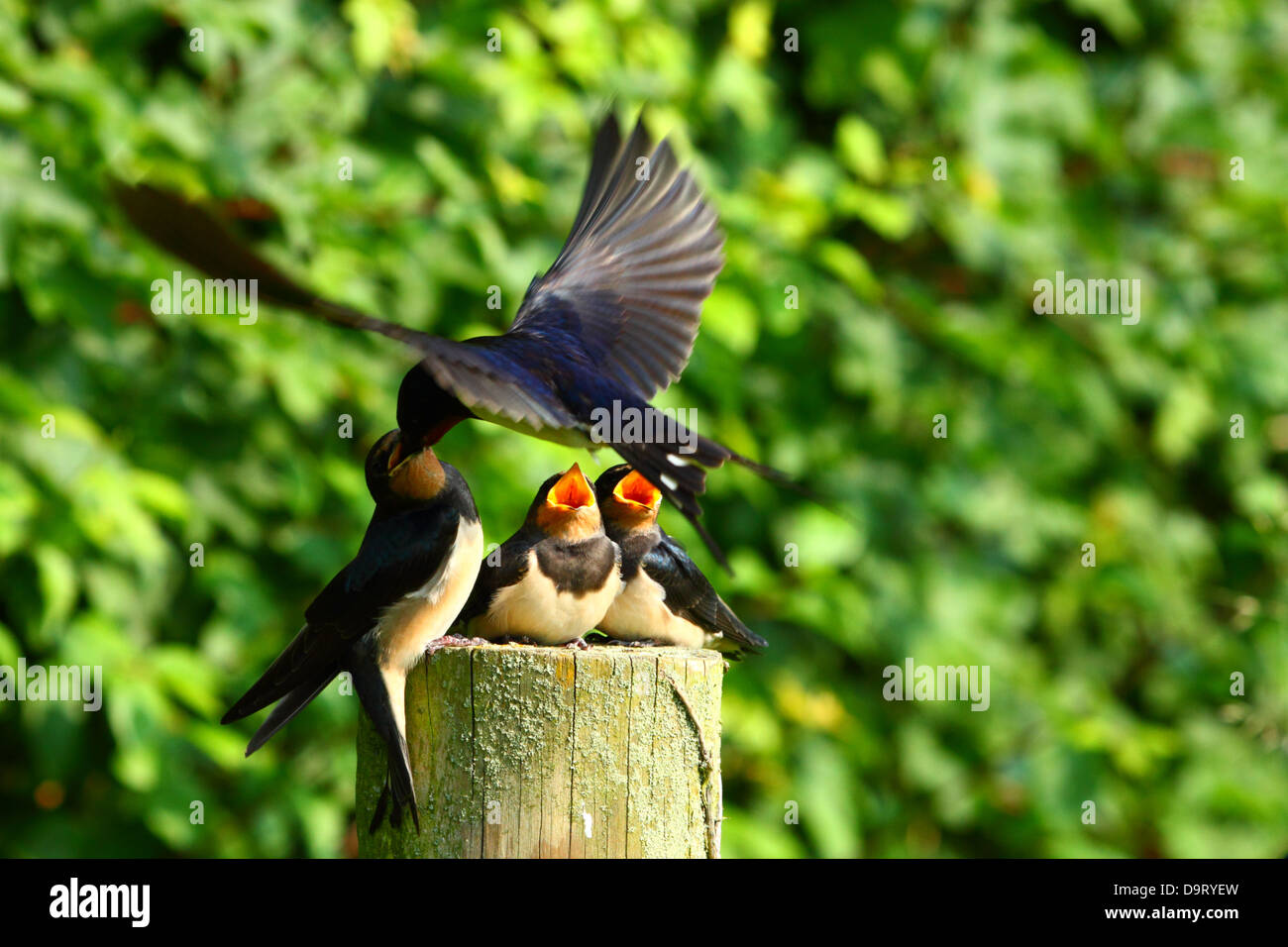 baby swallow being fed by adult swallow - Stock Image