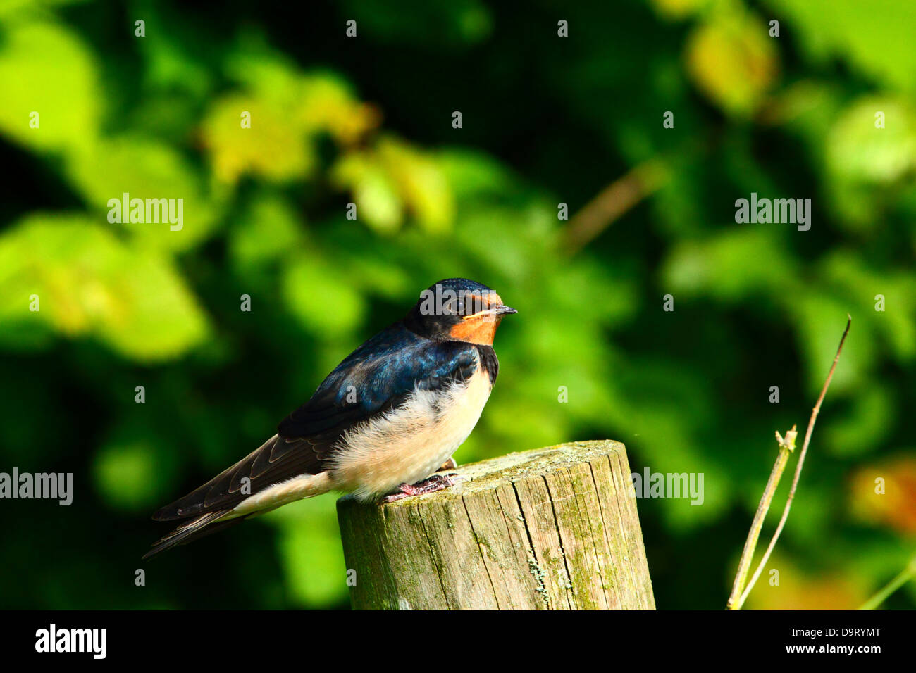 baby swallow on fence post waiting to be fed by adult - Stock Image