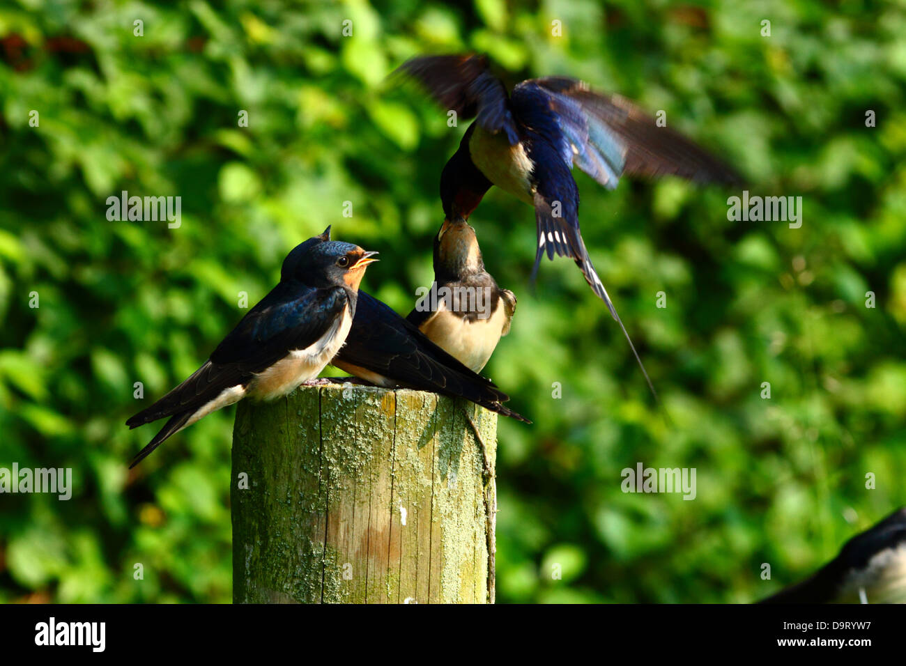 baby swallows being fed by adult - Stock Image
