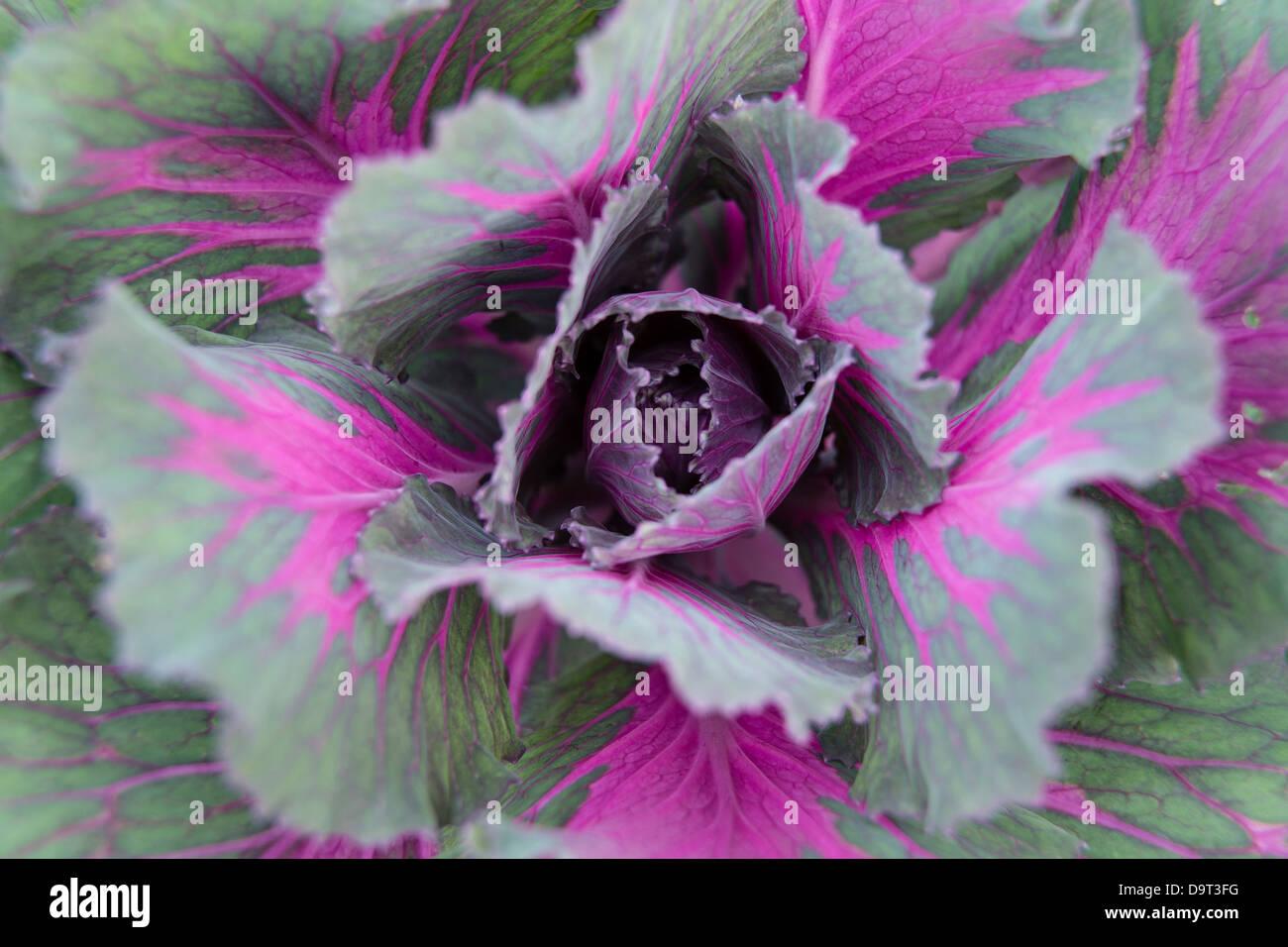 abstract detail of a cabbage, Kandawgyi Gardens, Pyin Oo Lwin, Myanmar (Burma) - Stock Image