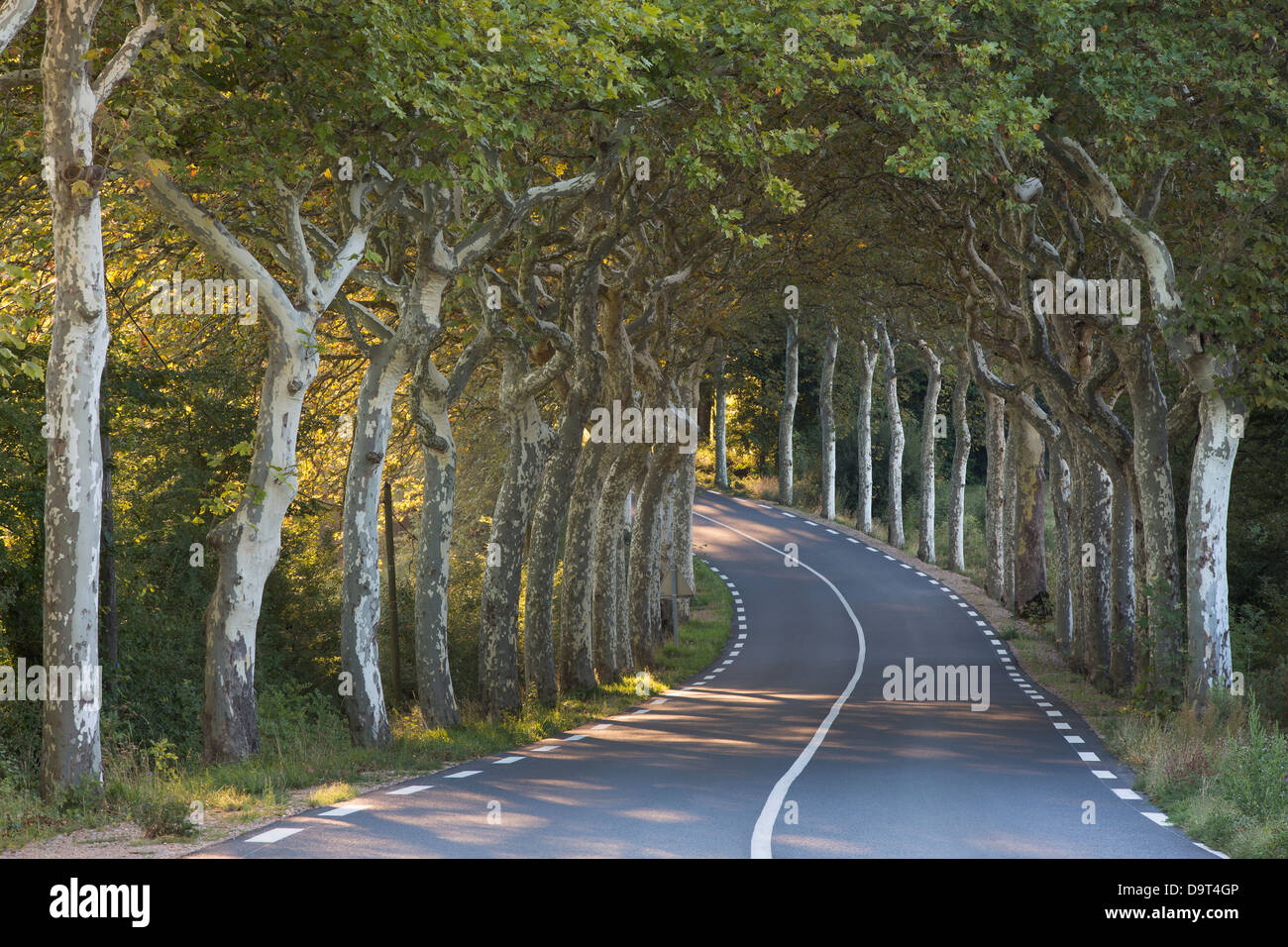 an avenue of plain trees on a road nr Soreze, Tarn, Languedoc, France - Stock Image