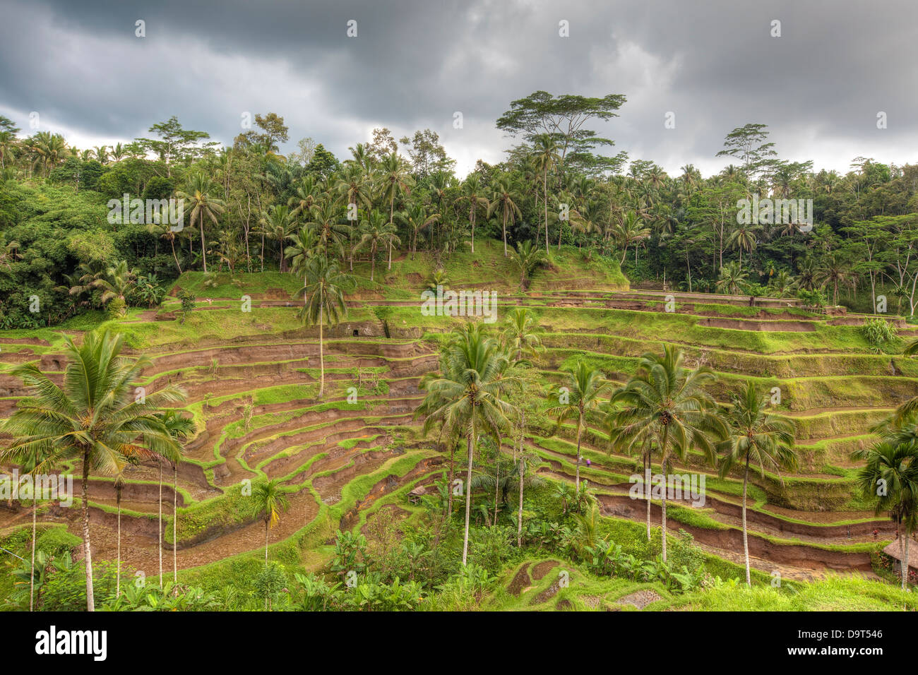 Rice Terrace - Stock Image