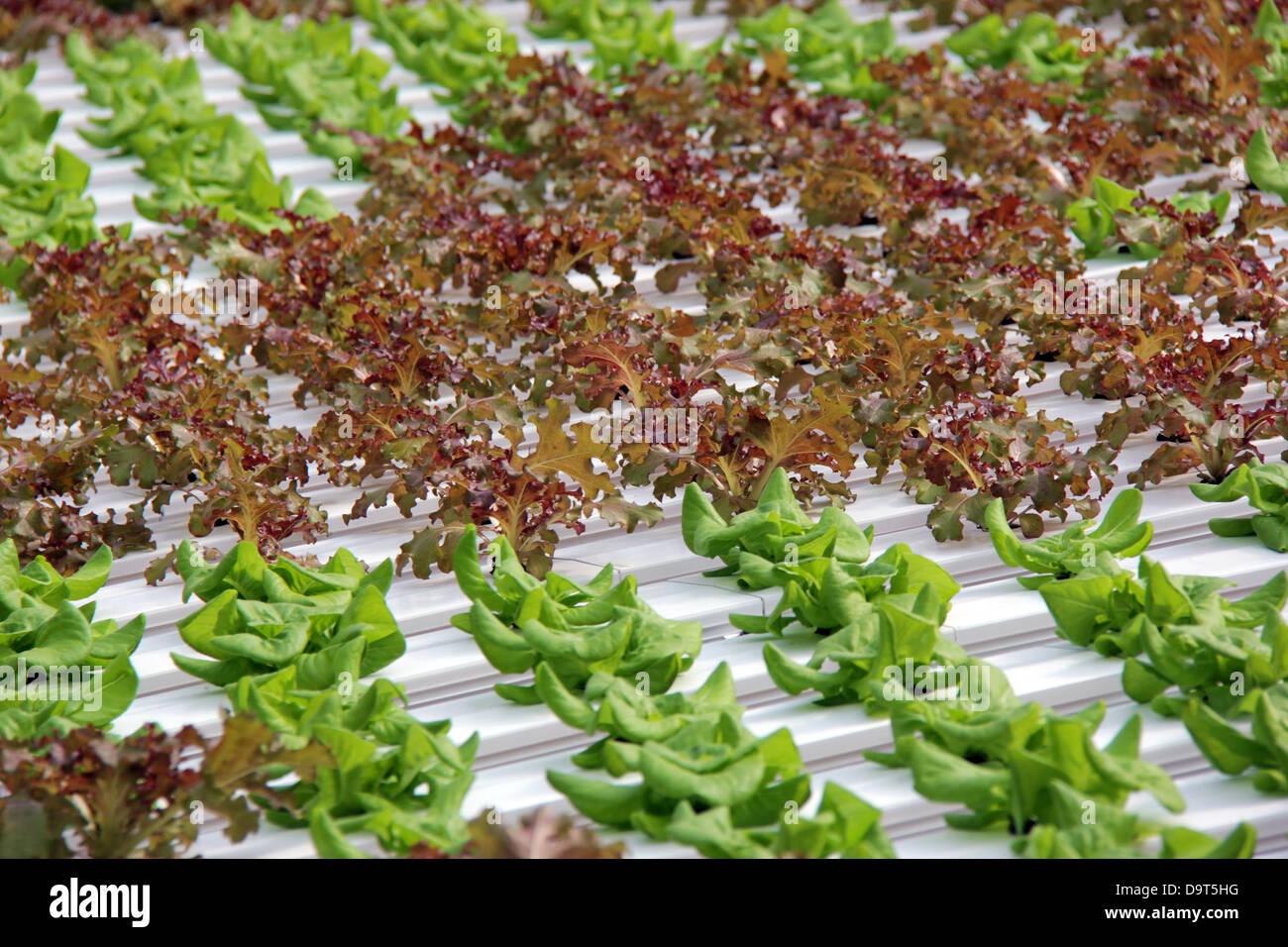 Organic hydroponic lettuce cultivation Stock Photo: 57694268 - Alamy