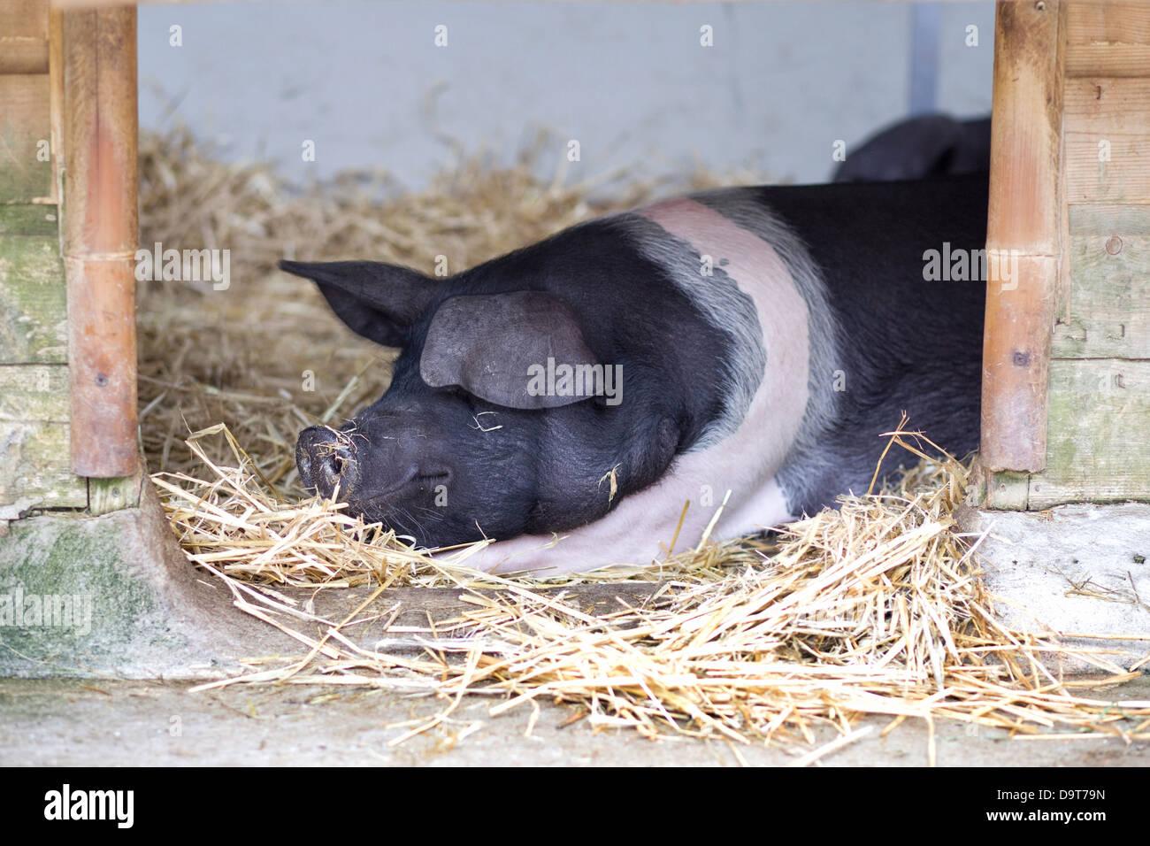 British Saddleback Pigs Stock Photos Amp British Saddleback