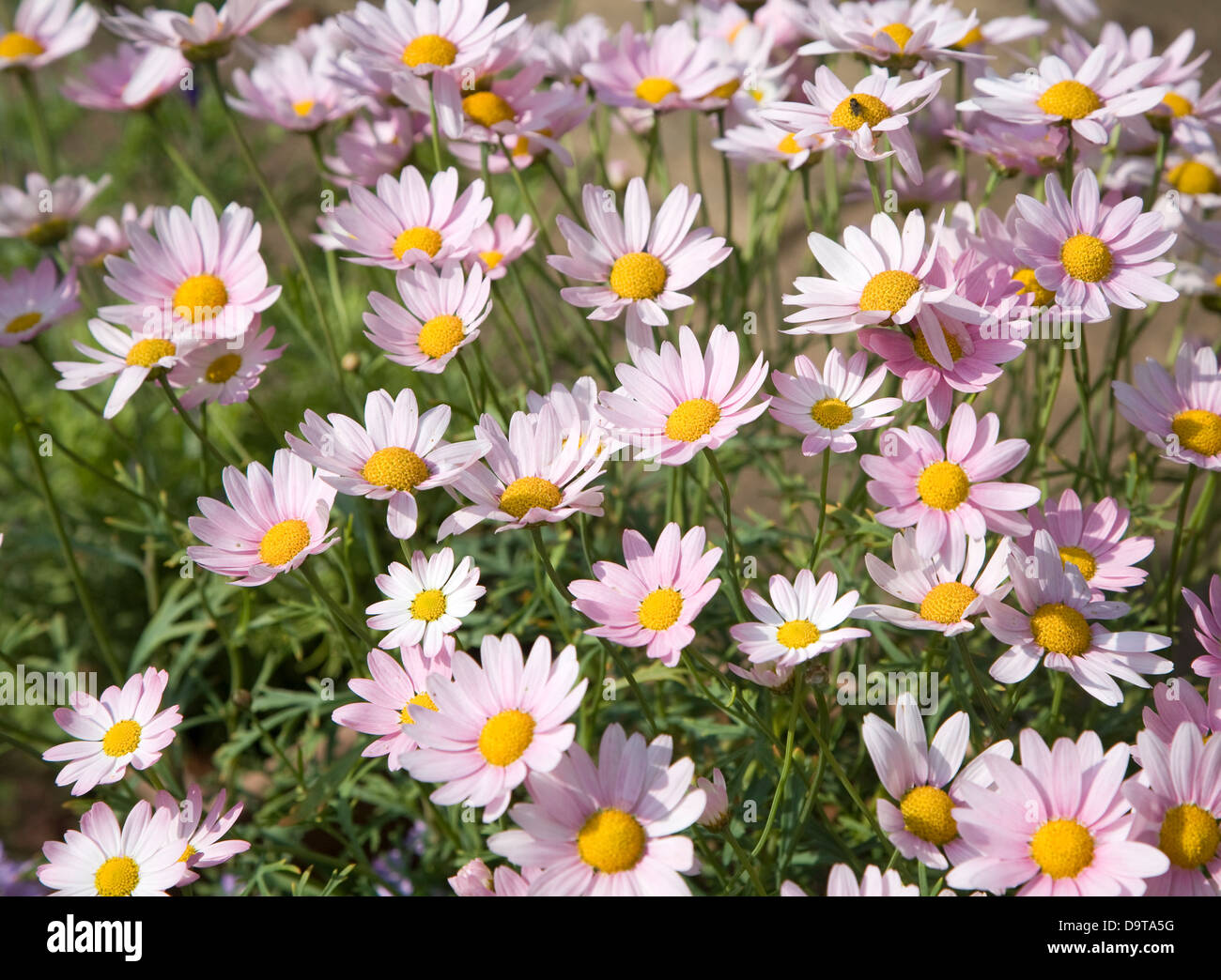 Argyranthemum pink daisy like flowers stock photo 57697852 alamy argyranthemum pink daisy like flowers izmirmasajfo