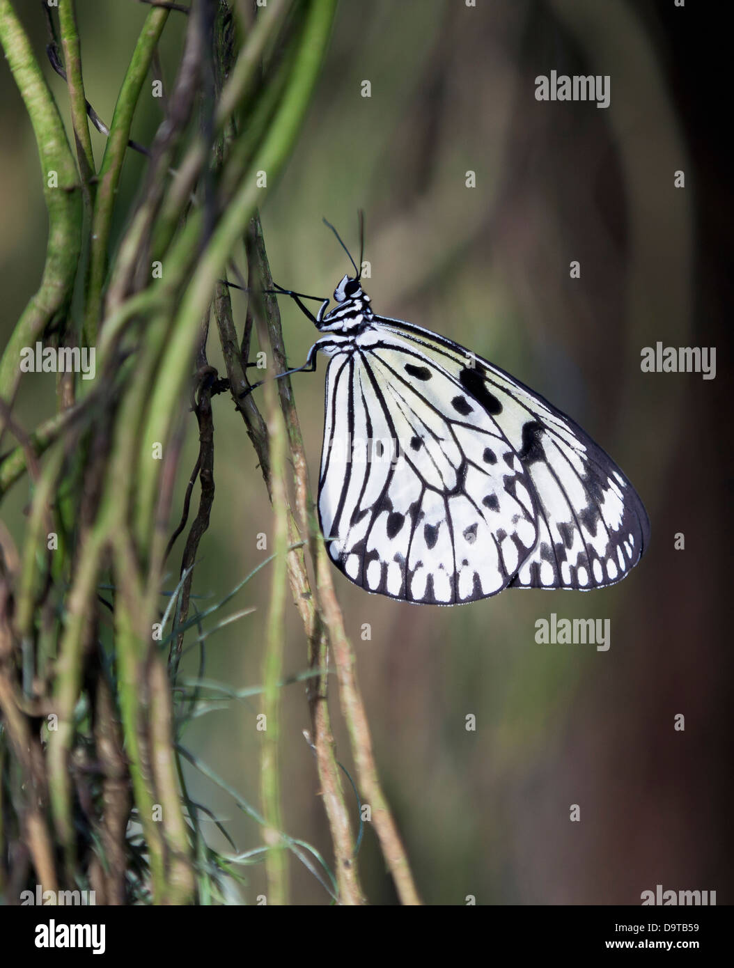 Black and white tree nymph butterfly (Idea Leuconoe) - Stock Image