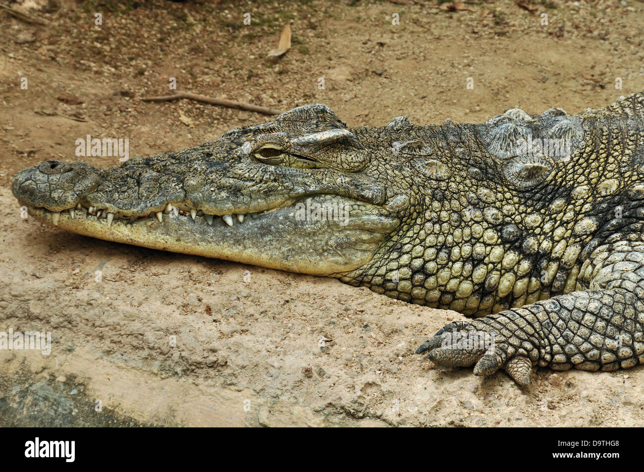 Nile crocodile one of the largest reptiles in the world. Wild animal background. - Stock Image