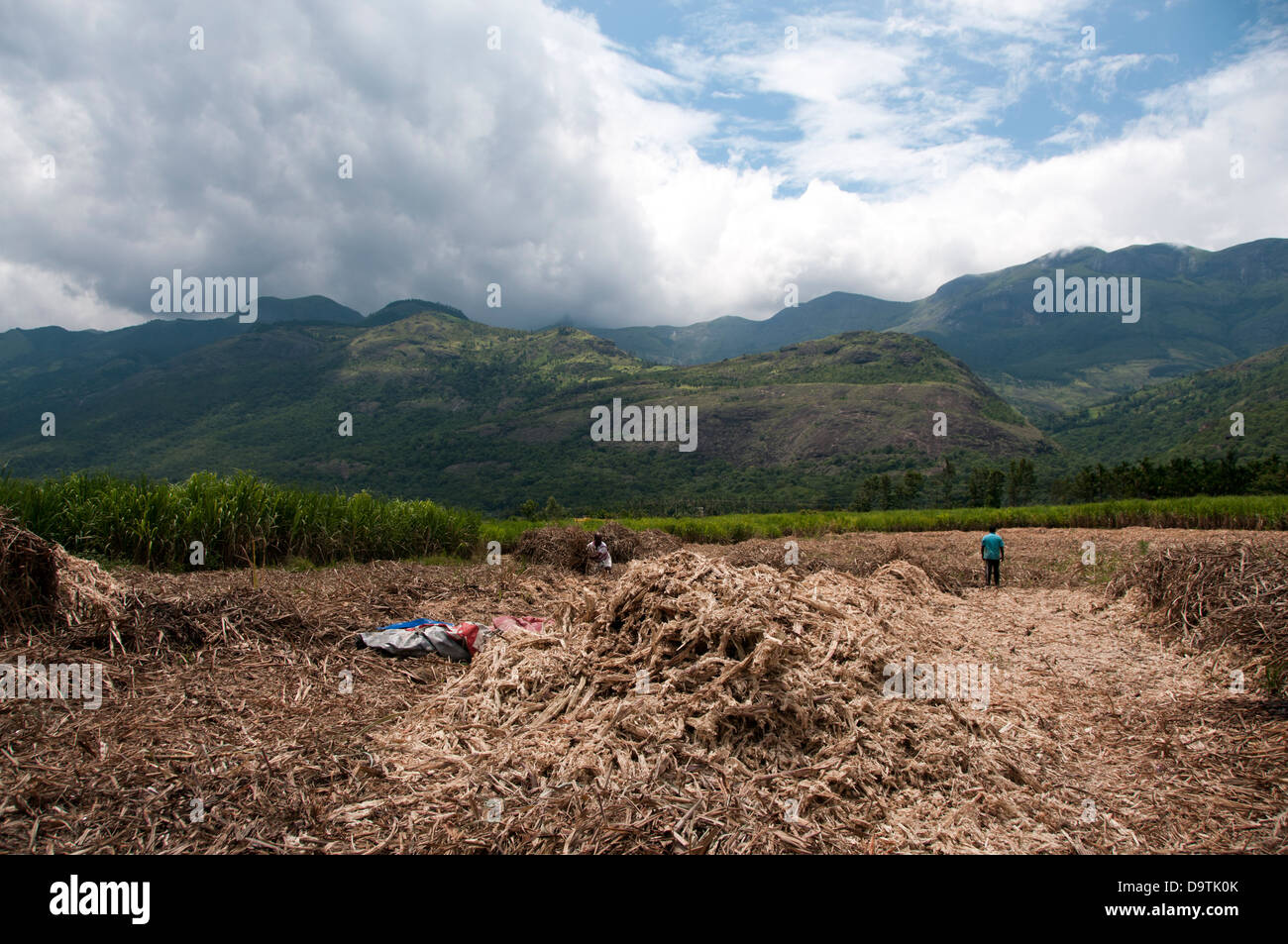 sugarcane cultivation and harvesting marayoor kerala India - Stock Image