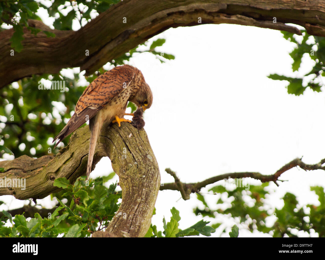 Wild Female Kestrel, Falco tinnunculus perched on branch of oak tree with vole - Stock Image
