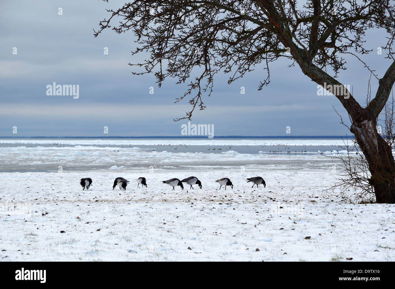 Grazing geese in snow - Stock Image