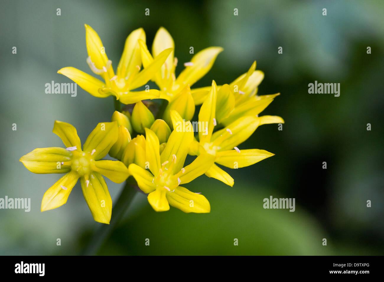 Allium Moly Golden Garlic Flowers Stock Photo 57710872 Alamy