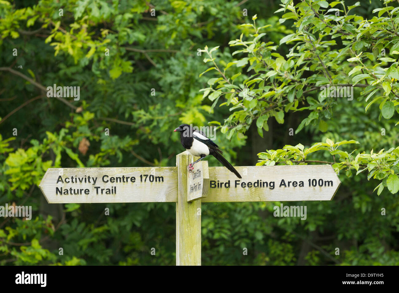 Magpie feeding on small rodent on signpost at Cowpen Bewley Woodland Park near Billingham, Cleveland, England, UK - Stock Image