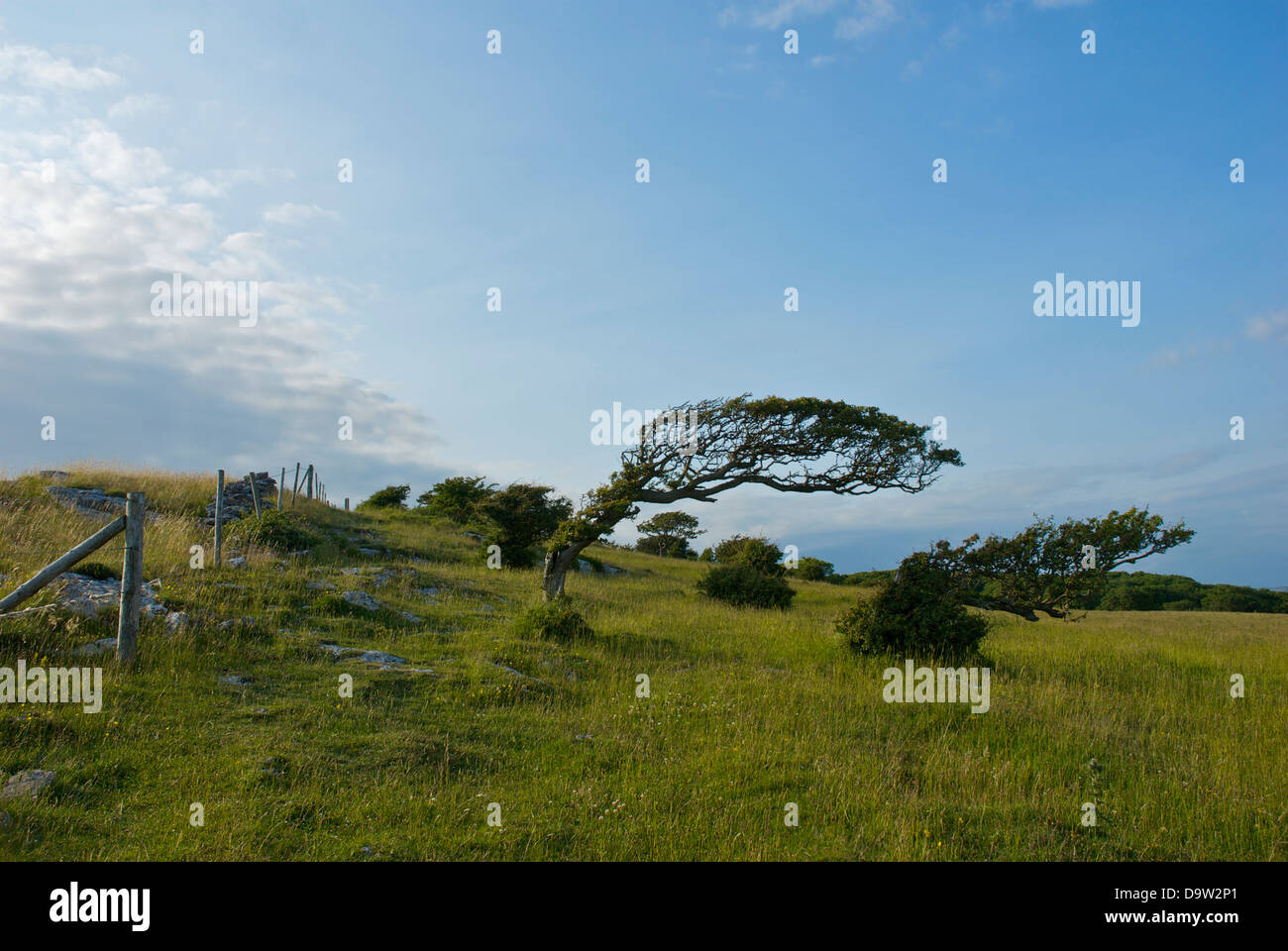 Bent, wind-blown trees on the limestone promontory of Humphrey Head, Cumbria, England UK - Stock Image
