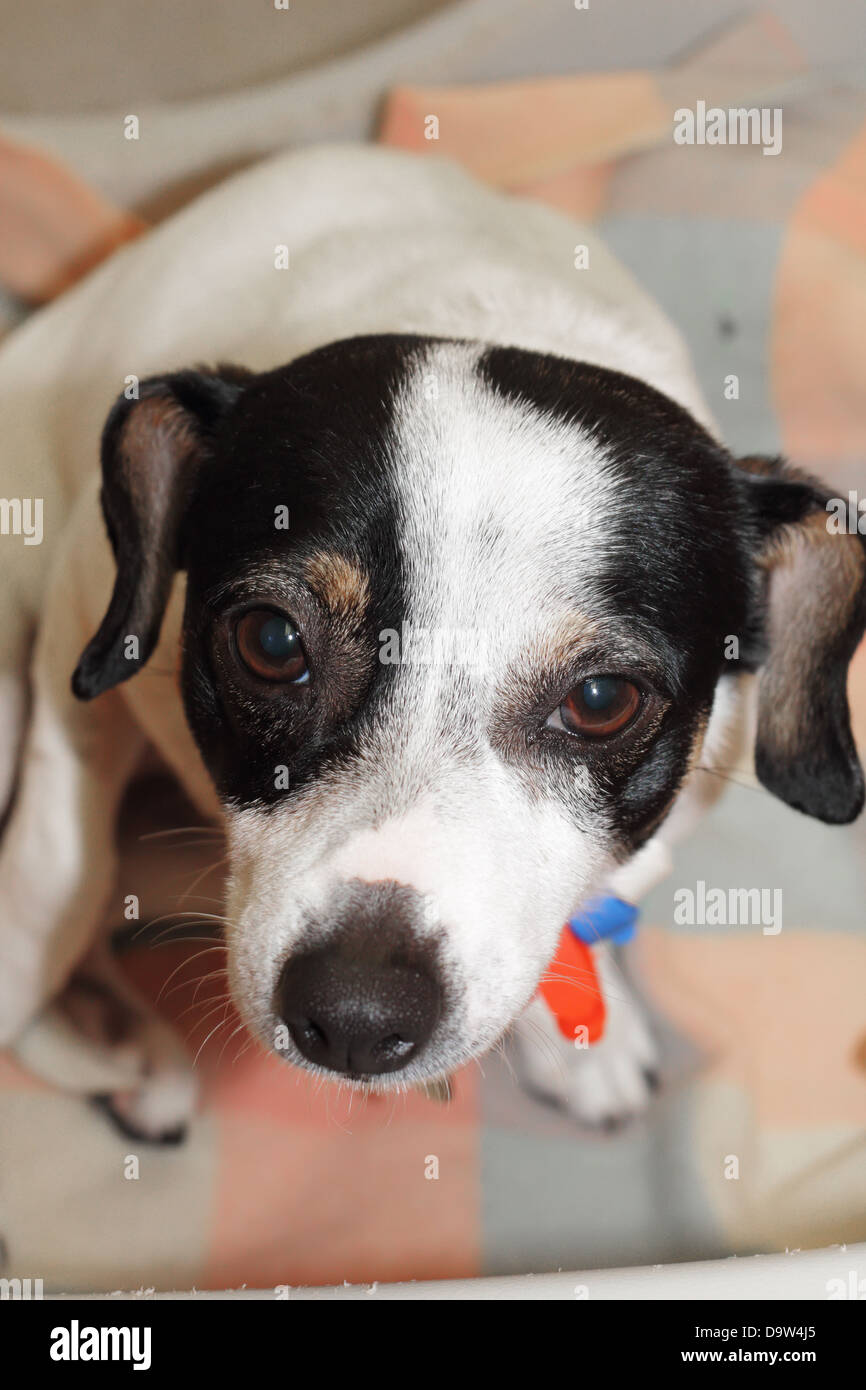 Chihuahua Cross is Starting at the Camera - Stock Image